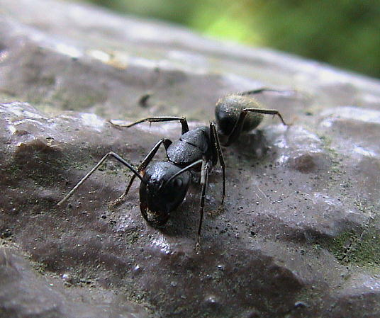 クロオオアリの画像 p1_24