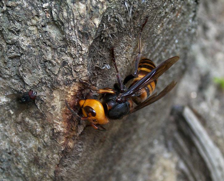 オオスズメバチ 昆虫エクスプローラ > 昆虫図鑑 > オオスズメバチ