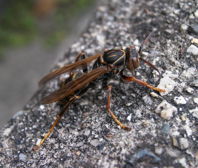 アシナガバチの画像 p1_25