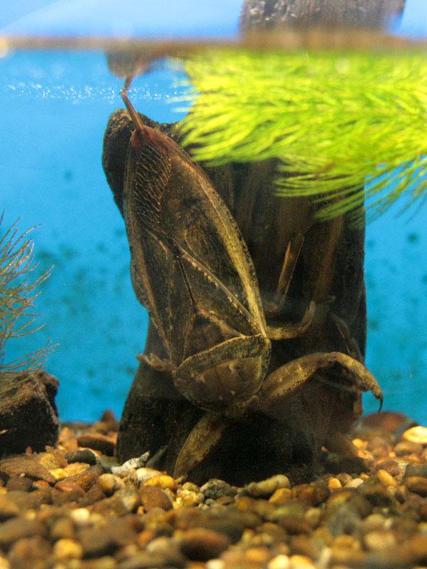 タガメの画像 p1_7