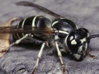 スズメバチ図鑑    (8種類)