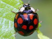 種類 てんとう 虫