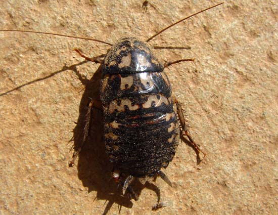 ゴキブリの画像 p1_24