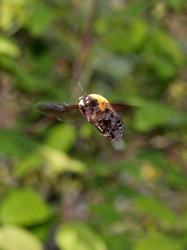 クマバチの画像 p1_34
